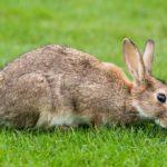 European_Rabbit,_Lake_District,_UK_-_August_2011-1